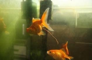 金魚の「ウンコ3兄弟」 (事務所の金魚です)